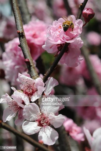 A bee lands on a flower in Sydney's Royal Botanical Gardens on September 1 as the Australian city ushers in the first day of spring A recent report...