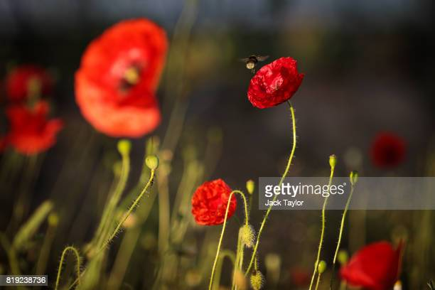 A bee lands on a wild poppy growing beside a field near Polygon Wood on July 14 2017 in Heuvelland Belgium July 31 2017 marks the centenary of one of...