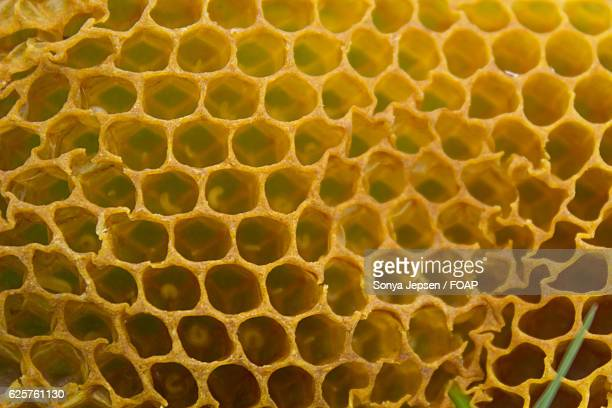 Bee larvae in beeswax