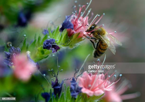 A bee makes lands on one of the flowers on the Echium wildpretii TowerofJewels at the Denver Botanic Gardens on May 5 2017 in Denver Colorado