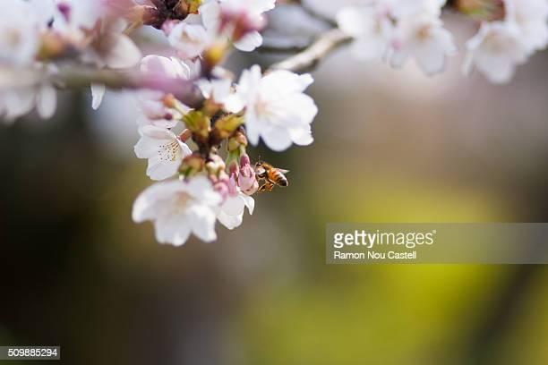 Bee near Cherry blossom