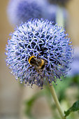 A bee on a globe thistle flower, in summer