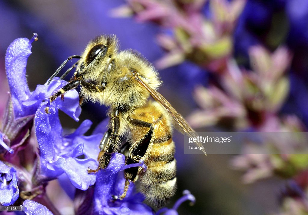 bee on a flower : Stock Photo