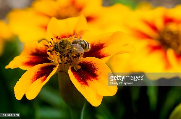 Bee on a Marigold Flower