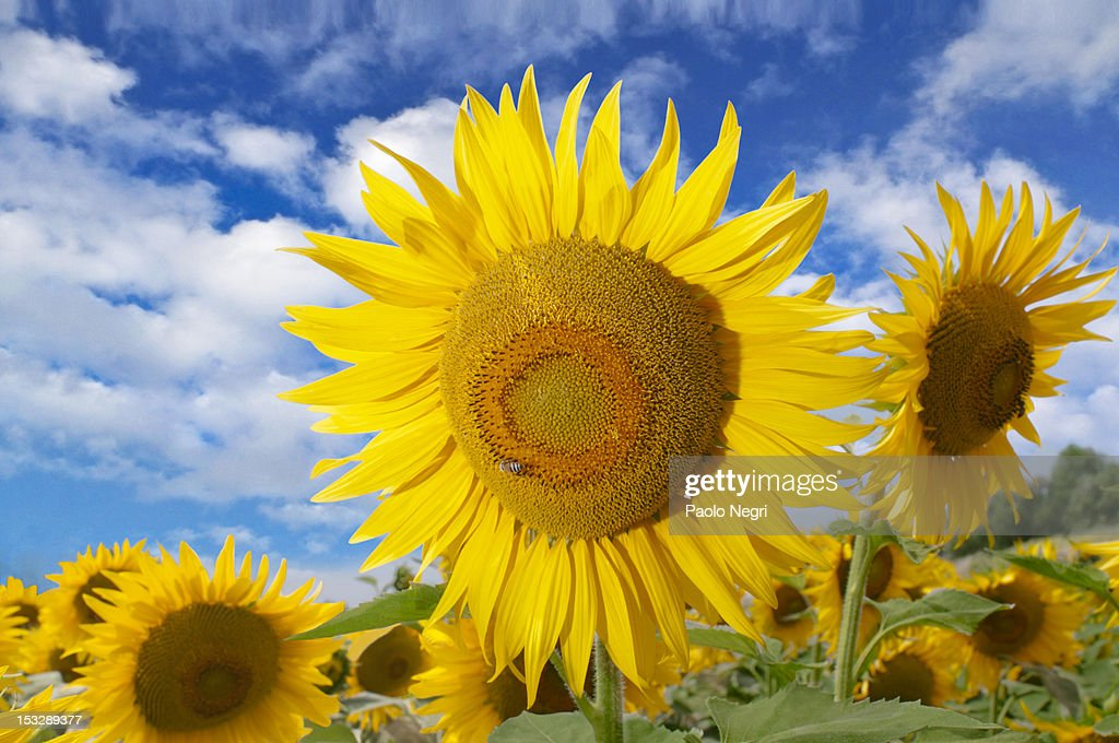 A bee on a sunflower : Stock Photo