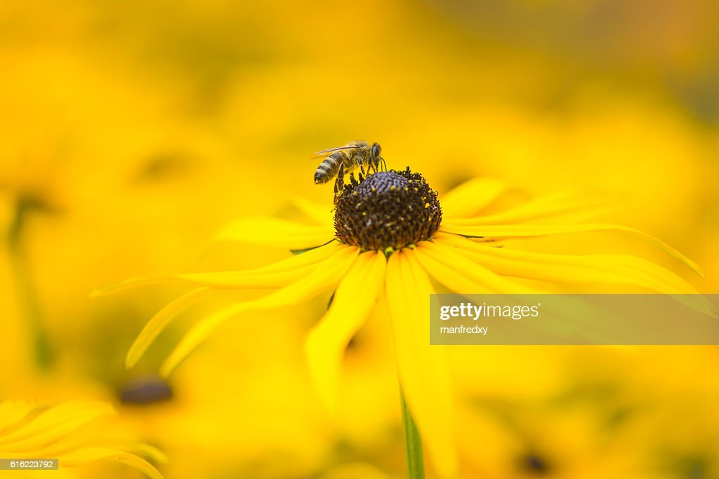 Bee on a yellow echinacea flower : Stock-Foto