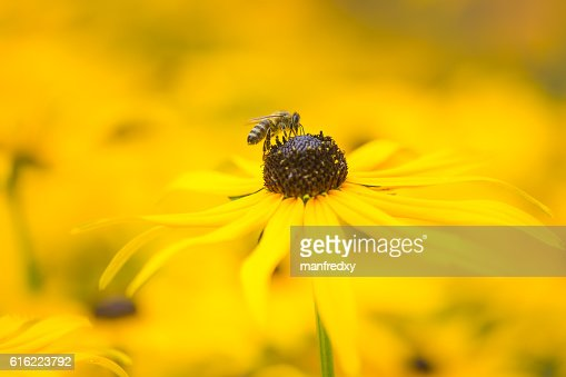 Bee on a yellow echinacea flower : Stockfoto