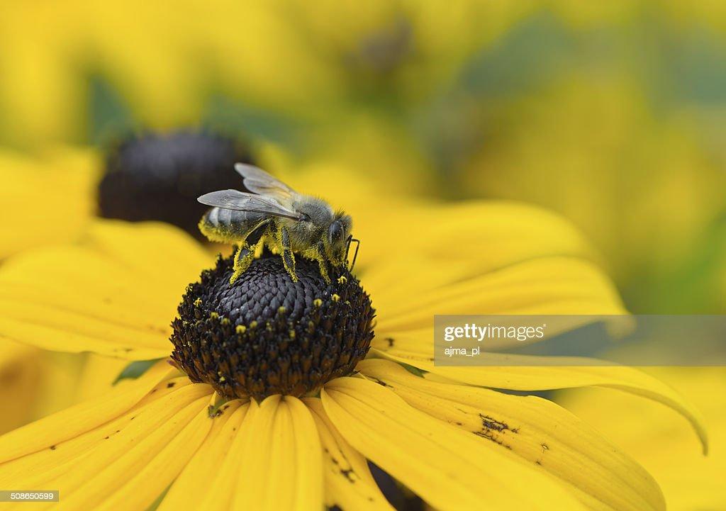 Bee on Black-Eyed Susan : Stock Photo