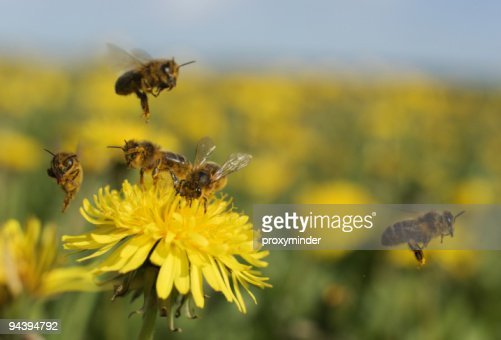 Bee on dandelion