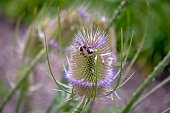 bee on flower of thistle
