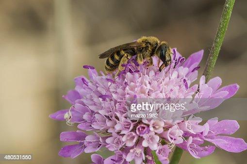 Biene auf Blüte : Stock-Foto
