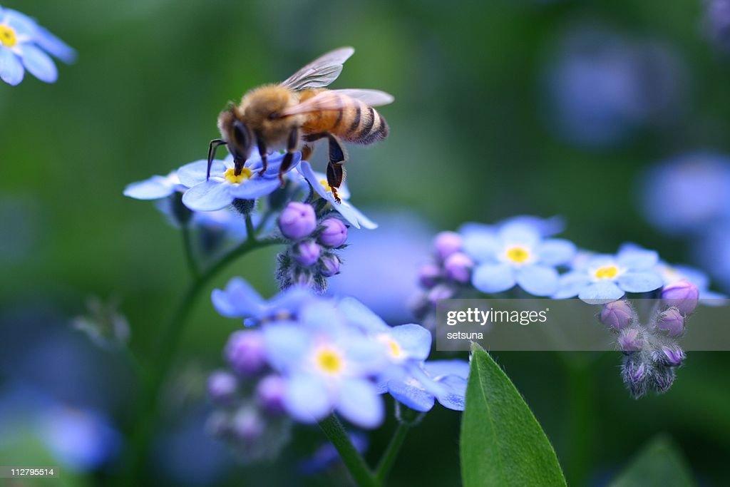 Bee on forget-me-not : Foto de stock