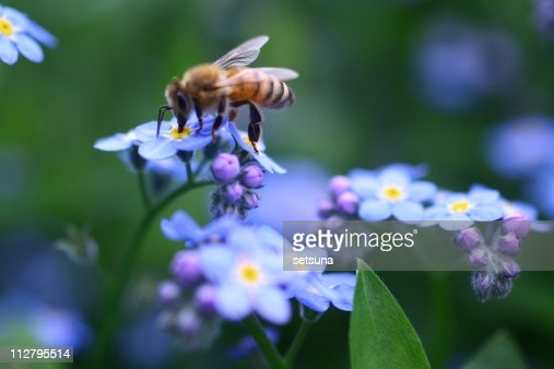 Bee on forget-me-not