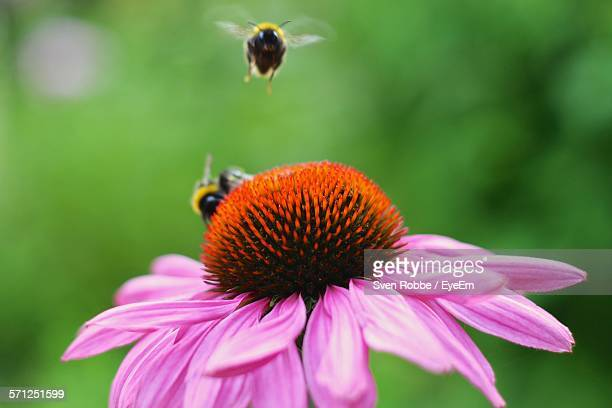 Bee On Pink Coneflower