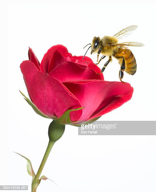Bee on red rose