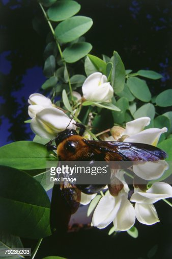 Bee on white flowers, close up : Stock Photo