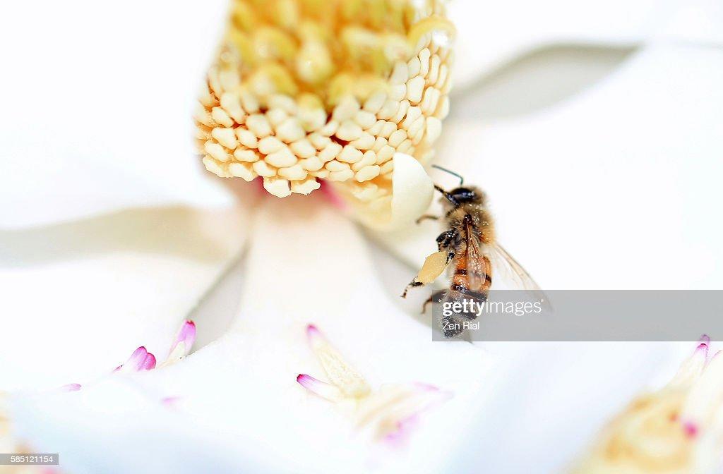 Bee on white Magnolia blossom - high key