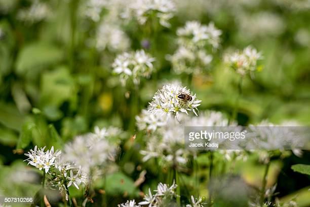 Bee on wild garlic flower