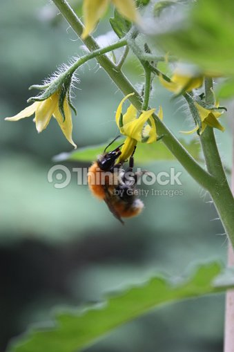 Bee on yellow flower of tomato plant in the garden stock photo bee on yellow flower of tomato plant in the garden stock photo mightylinksfo