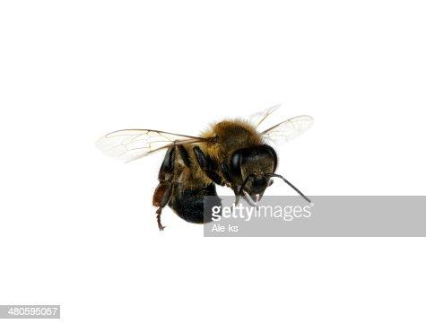 bee : Stock Photo