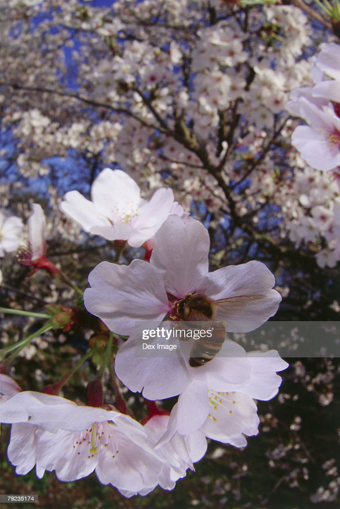 Bee pollenating Cherry blossoms flower, close-up : Stock Photo