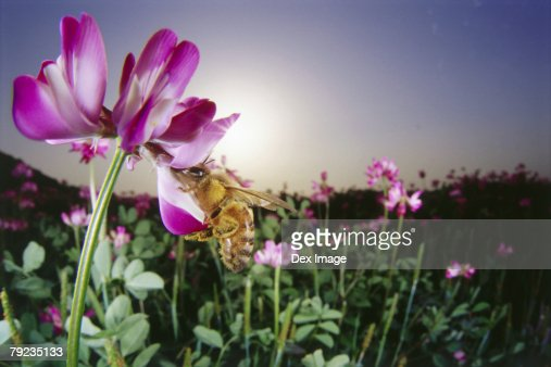 Bee pollenating pink flower, close-up : Stock Photo