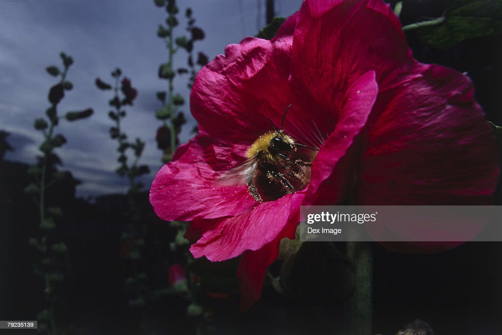 Bee pollenating pink Hibiscus, close-up : Stock Photo