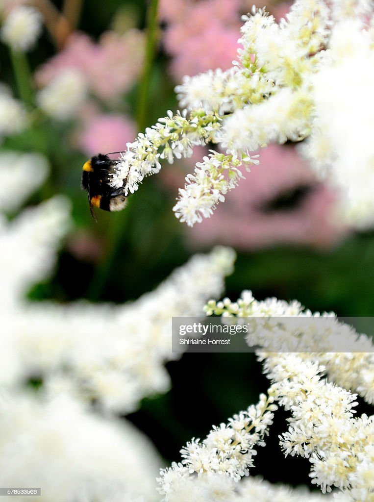 A bee pollinates a flower during the RHS Flower Show at Tatton Park on July 21 2016 in Knutsford England
