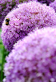 A bee pollinates a giant Allium during the RHS Flower Show at Tatton Park on July 21 2016 in Knutsford England