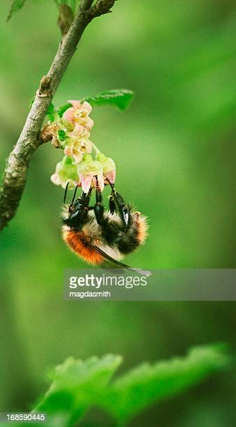 bee pollinating black currant flower