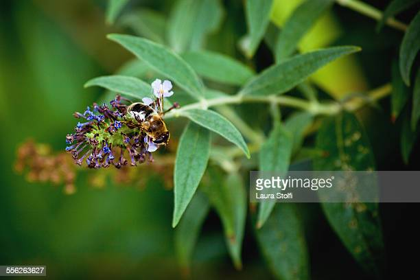 Bee pollinating butterfly bush (Buddleja) flower