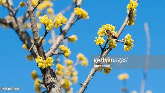 dogwood polinizadora de la abeja : Foto de stock