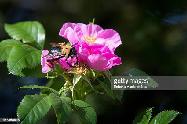 Bee pollinating in a Rosa Canina or dogrose The plant is a deciduous shrub which fruits are rich in vitamin C