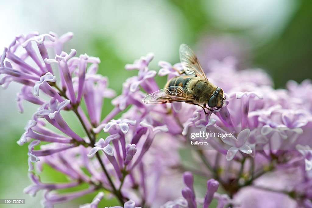 Bee Pollinating Lilac : Stock Photo