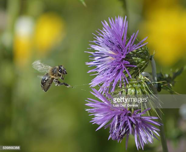 Bee Pollinating On Monk Thistle (Galactites tomentosa) flower