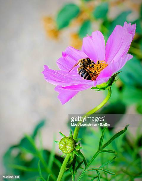 Bee Pollinating On Pink Cosmos Blooming Outdoors