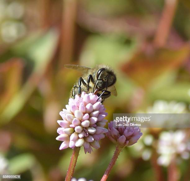 Bee Pollinating On Pink Knotweed (Persicaria capitata)