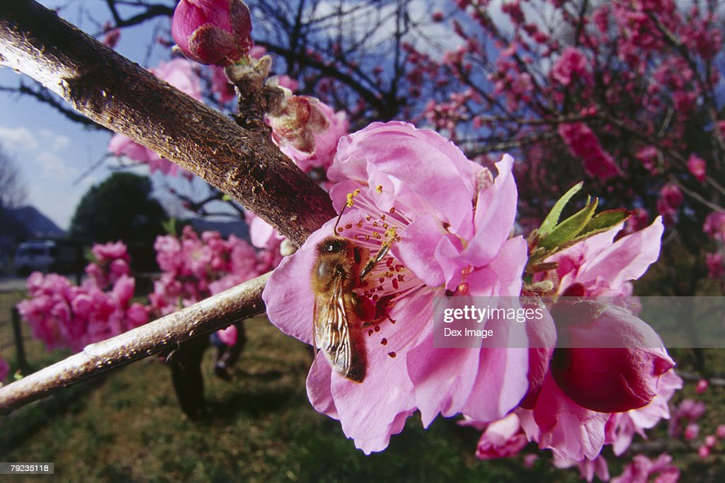 Bee pollinating pink Azalea, close-up : Stock Photo