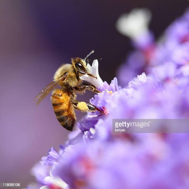 Abeille pollinating Fleur violet