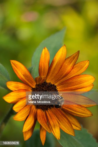 Bee Pollinating Sunflower : Stock Photo