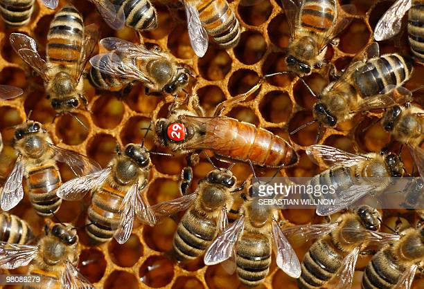 A bee queen with the number 29 sits on honeycombs surrounded by bees in Leipzig eastern Germany on March 26 2010 AFP PHOTO DDP/ SEBASTIAN WILLNOW...