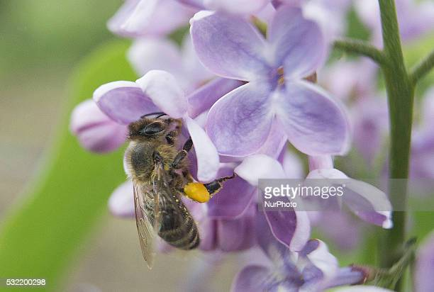 Bee sitting on a flower Banie Mazurskie Poland on 18 May 2016