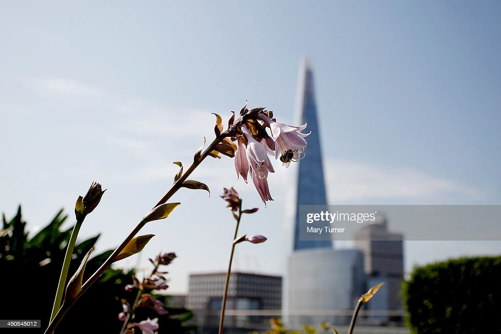 A bee visits a hosta flower in front a view of the Shard, on the Nomura rooftop gardens, which are opening to the public for the first time as part of Open Garden Squares Weekend 2014, on June 13, 2014 in London, England. Nomura's 6th floor terrace garden with panoramic views across the Thames is one of over 200 usually private gardens which members of the public will be able to explore between June 14th and 15th 2014.