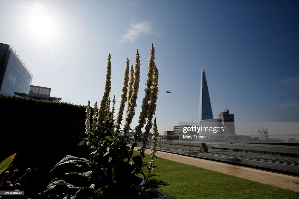 A bee visits verbascum flowers in front a view of The Shard, on the Nomura rooftop gardens, which are opening to the public for the first time as part of Open Garden Squares Weekend 2014, on June 13, 2014 in London, England. Nomura's 6th floor terrace garden with panoramic views across the Thames is one of over 200 usually private gardens which members of the public will be able to explore between June 14th and 15th 2014.