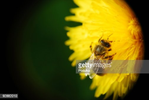 Bee with yellow pollen in the hair