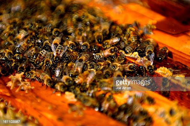 beeboys16f Honey bees huddle around their queen in the hives of Eric Carney 12 his cousin William Austin 14 and his brother Clay Carney 11 The boys...