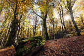 Beech forest with trees in backlight. In the foreground a stone covered with moss, dry leaves of the undergrowth. Autumn colors, branches and trunks without leaves. Beech forest, beech forest in autum