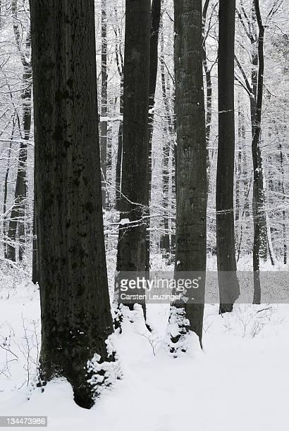 Beech forest in winter, Lower Saxony, Germany, Europe