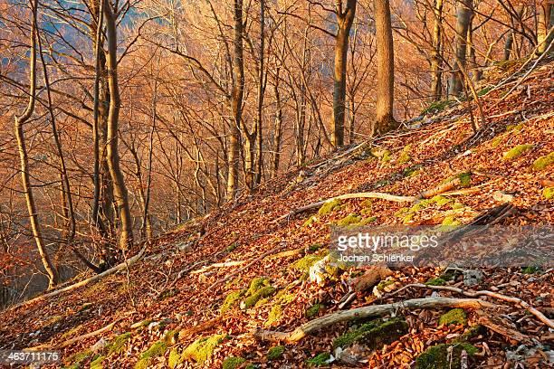 Beech forest, Swabian Alb