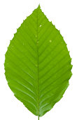 Beech Leaf Isolated on White